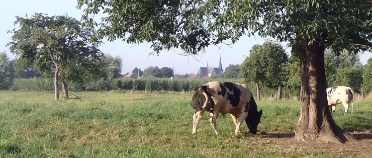ZEP koeien 2014 Plankstraat
